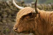 foto of highland-cattle  - A highland cow in the Peak District