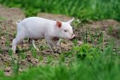 image of piglet  - Piglet on spring green grass on a farm - JPG