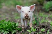 foto of piglet  - Piglet on spring green grass on a farm - JPG