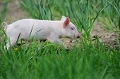 picture of piglet  - Piglet on spring green grass on a farm - JPG