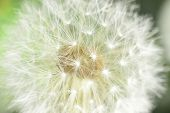 stock photo of defloration  - deflorate enlarged Dandelion ( blowball ) with fluff and seeds over green