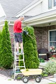 picture of tree trim  - Gardener standing on a stepladder in front of a house trimming an Arborvitae or Thuja tree with a hedge trimmer or small chain saw to maintain its ornamental shape - JPG