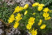 picture of adonis  - Adonis in the spring garden close up - JPG