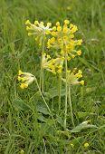 stock photo of cowslip  - Cowslip - Primula veris  Yellow Spring Flower - JPG
