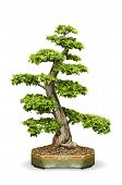 foto of bonsai  - isolated Bonsai tree - JPG