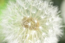 picture of defloration  - deflorate enlarged Dandelion ( blowball ) with fluff and seeds over green ** Note: Soft Focus at 100%, best at smaller sizes - JPG