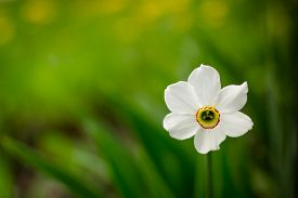 picture of daffodils  - Solitary white daffodil flower blooming against a green empty unfocused background - JPG