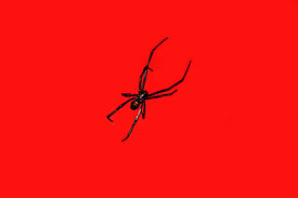 stock photo of black widow spider  - black widow spider on red background - JPG