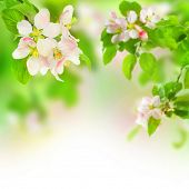 picture of apple orchard  - Apple Blossoms - JPG