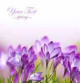 stock photo of early spring  - Beautiful Spring Flowers - JPG