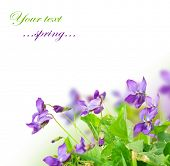stock photo of violet flower  - Spring Violet Flowers - JPG