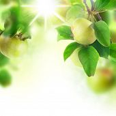 image of apple orchard  - Beautiful Fresh Apples in orchard - JPG