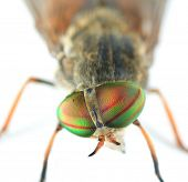 foto of gadfly  - Very Detailed Macro Portrait of Fly - JPG