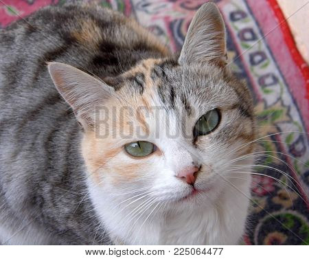 poster of pictures of cats, domestic cats, cat eyes, cat eyes looking cute, emotional eyed cats,