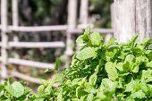 Peppermint Plant Grown In Vegetable Garden poster