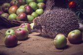 Hedgehog Apples Basket Sniffs Wicker Basket Red Green poster