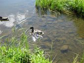 pic of swim meet  - Duck swimming up the small lake to meet his family - JPG