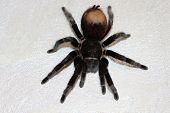 Spider Tarantula Brachypelma Albopilosum poster