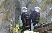Pair Of Bald Eagles Beside A Rocky Cliff. poster