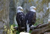 Resting Pair Of Bald Eagles Under A Rock Cliff. poster