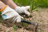 Gardener Cleans The Bed Of Weeds With A Garden Tool poster