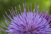 A Bull Or Spear Thistle. Cirsium Vulgare. Macro Shot. poster