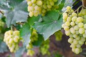 A Bunch Of Green Ripe Grapes On A Bush. Ready To Harvest Grapes Close-up. Grape Growing In Agricultu poster