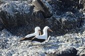 picture of booby  - Masked Boobies on Galapagos island in Ecuador - JPG