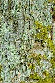 Texture Of Bark Of Ancient Mighty Oak Tree Trunk With Moss And Lichen. Old Tree Bark Background poster