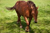stock photo of shire horse  - Close up of a British Suffolk Punch shire horse - JPG