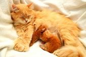 Red Fluffy Cat Feeds 2 Small Newborn Kittens On A White Background. Lactating Cat And Her Children,  poster