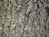 Texture Photo Of The Bark Of An Old Tree. Background Of Tree Bark. poster