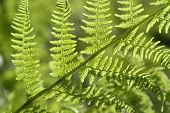 image of chloroplast  - detail of a sunny illuminated fern leaf at summer time - JPG