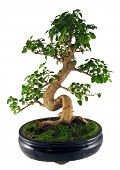 image of bonsai tree  - bonsai tree  - JPG