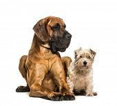 Great Dane and Mixed-breed dog sitting against white background poster