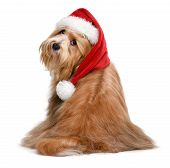 Cute Sitting Bichon Havanese Dog Is Wearing A Christmas Santa Hat - Isolated On White Background poster