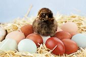 stock photo of egg-laying  - Adorable little Araucana chick sitting on top of a variety of organic farm fresh eggs - JPG