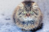 Angry Displeased Gray-brown Cat With Fluffy Long Hair. Sitting On Street In Winter poster