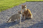 Ginger And White Fluffy Cat And Ginger Striped Kitten Sitting On Pavinging, Looking To Right As If S poster