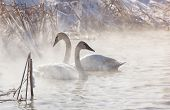 stock photo of trumpeter swan  - Trumpeter swans in the morning light - JPG
