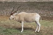 foto of veld  - An endangered addax grazes on the savanna - JPG