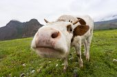 stock photo of dairy cattle  - Curious Cow - JPG