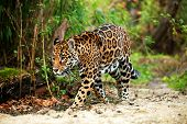 image of ocelot  - Jaguar walking in the jungle - JPG
