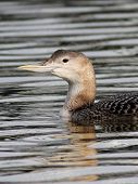 picture of loon  - A closeup shot of a Yellow - JPG