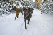 stock photo of chocolate lab  - Three dogs walking in a winter park  - JPG