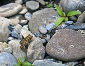 Young toad climbing on rocks