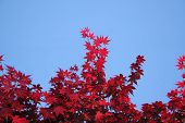 Japanese Maple And Blue Sky poster
