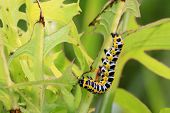 picture of moth larva  - Lettuce winter moth on green leaf in the wild - JPG