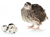 stock photo of quail  - Young quail with eggs isolated on white - JPG