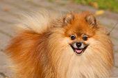 image of pom poms  - Pomeranian  - JPG